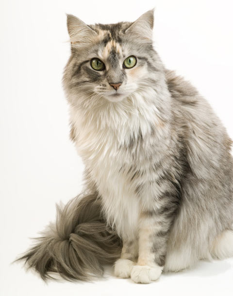 Large cats like Maine Coons need large scratching posts.