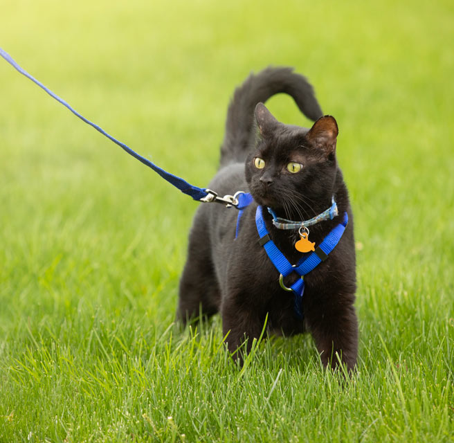 Learn why some cats are afraid of leashes.